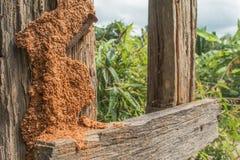 Orange Termite nest. On brown fence background Stock Photo
