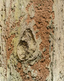 Orange Termite nest  on brown tree bark. Background Stock Image