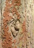 Orange Termite nest  on brown tree bark. Background Royalty Free Stock Images