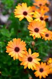 Orange terracotta flowers blooming in Auckland Botanic Gardens during spring Stock Images
