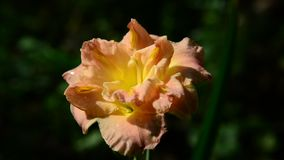 Orange terry daylily flower in flowerbed. Orange terry daylily flower in the flowerbed stock footage