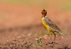 Orange throated Longclaw Royalty Free Stock Image