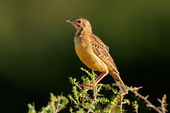 Orange-throated longclaw Royalty Free Stock Image