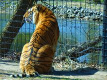 Orange tiger against metal fence. Orange tiger with black stripes sitting in front of a metal fence; Cohanzick Zoo; Bridgeton, New Jersey; Spring 2018 Stock Photo