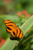 Orange Tiger butterfly Royalty Free Stock Photo
