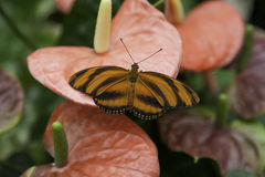 Orange Tiger Butterfly Resting on a flower Stock Photo