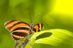 Orange Tiger Butterfly Stock Images