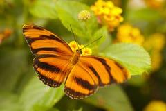 Orange Tiger Dryadula phaetusa Royaltyfri Fotografi