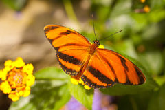 Orange Tiger Dryadula phaetusa Fotografering för Bildbyråer