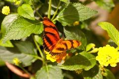 Orange Tiger Dryadula phaetusa Royaltyfria Foton