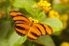 Orange Tiger Dryadula phaetusa Royalty Free Stock Photography