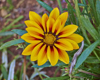 Orange tiger gazania flower Royalty Free Stock Photo