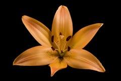 Orange Tiger Lilie schwarzer Hintergrund Lizenzfreie Stockfotografie