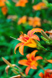 Orange tiger lilies blooming in the garden Royalty Free Stock Photos