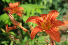 Orange tiger lilies flowers two shot close up Royalty Free Stock Images