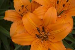 Orange Tiger Lillies Royaltyfria Foton