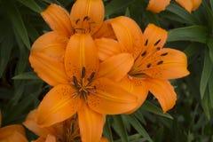 Orange Tiger Lillies Fotografering för Bildbyråer