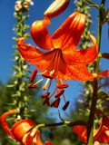 Orange Tiger Lilly. Closeup of a orange Tiger Lilly flower against a blue sky Stock Photos