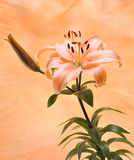 Orange Tiger Lilly Royalty Free Stock Image