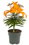 Orange Tiger Lily Royalty Free Stock Photos