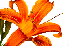 Orange Tiger Lily Royalty Free Stock Photography