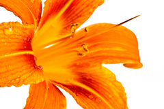 Orange tiger lily Stock Image