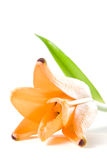 Orange tiger lily Royalty Free Stock Photo