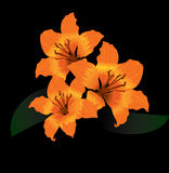 Orange tiger lily on black background Royalty Free Stock Photo