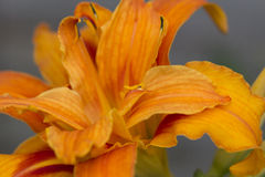 Orange Tiger Lily Royalty Free Stock Images