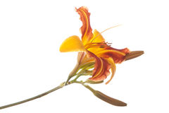 Orange tiger lily. Royalty Free Stock Photos