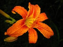 orange-tiger-lily-covered-in-rain-drops stock photo