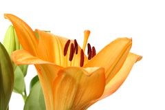 Orange Tiger Lily flower Stock Photography