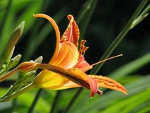 Orange tiger lily flower on green summer grass background Royalty Free Stock Photos