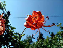 Orange Tiger Lily flower half blown. Trees and sky in background royalty free stock photo