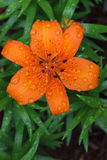 Orange Tiger Lily Flower med regndroppar royaltyfria bilder