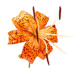 Orange tiger Lily Stock Photos