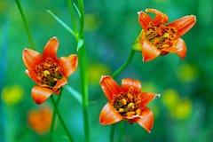 Orange Tiger Lily, Tuolumne Meadows, Yosemite National Park royalty free stock photography
