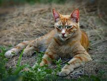Orange Tiger Mackerel Tabby Farm Cat relaxing. Orange Tiger Mackerel Tabby Farm Cat slightly camouflaged by weeds and its white and orange color pattern stock images