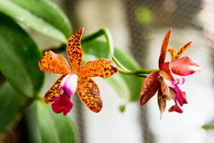 Orange tiger orchids Stock Images