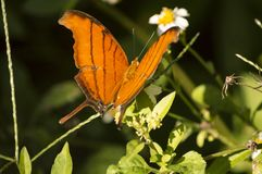 The orange tiger swallowtail butterfly. Landing on a daisy in a butterfly garden stock images
