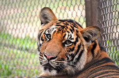 Orange tiger thailand Royalty Free Stock Photo