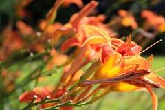 Orange Tigerlilien blüht den Schuss zwei, der oben von der Seite nah ist Lizenzfreie Stockfotos