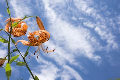 Orange Tigerlilienblumen stockbilder