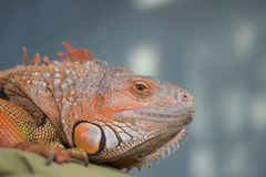Iguana perched on cushion with blurry background Stock Photos