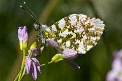 Orange Tip Royalty Free Stock Image