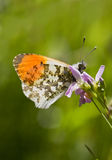 Orange Tip Stock Image