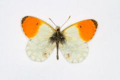 Orange Tip Royalty Free Stock Photo