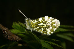Orange Tip (Anthocharis cardamines) Stock Photo