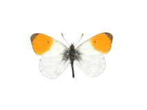 Orange tip (Anthocharis cardamines) Royalty Free Stock Photography