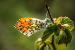 Orange tip (Anthocharis cardamines). Beautiful butterfly Orange tip (Anthocharis cardamines) waiting for the sun Stock Images